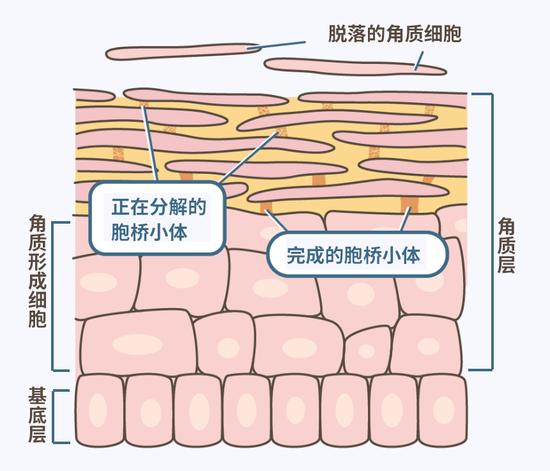 表皮的解剖结构,上方随风而去的那些就是脱落角质细胞就是皮屑/ med