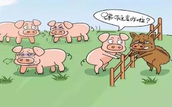 非洲|非洲猪瘟不感染人 正规途径购买的猪肉可放心食用