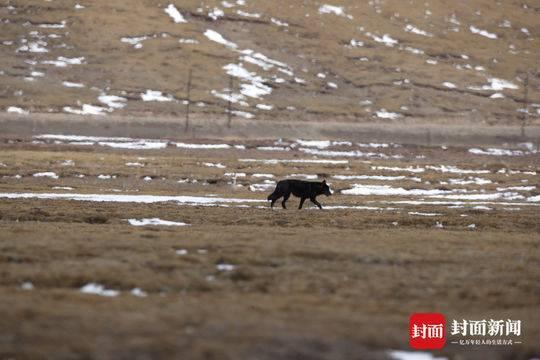 三江源国家公园首次拍到黑狼 中科院专家:意义重大