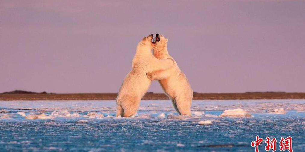 """动物们的小浪漫!北极熊冰面跳""""双人舞"""""""