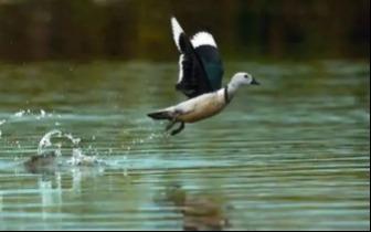 【分享】候鸟现身兴隆湖,鸟儿还在成都哪些地方陪着你?