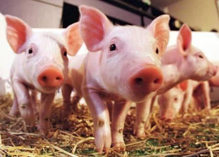 农业农村部:上海市金山区排查出非洲猪瘟疫情