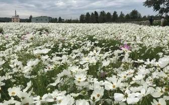 八公顷50色七彩花海 中社秋冬百合花季绚丽登场
