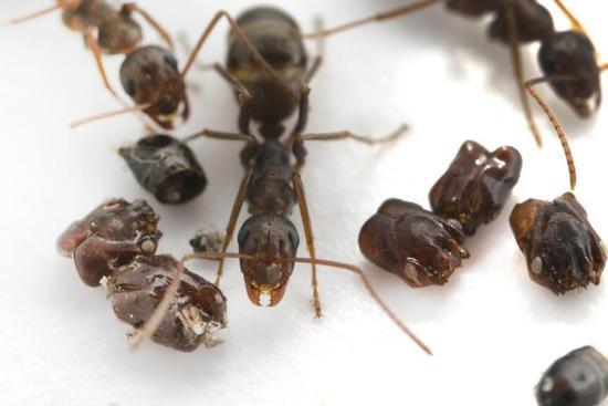 """蚂蚁王国杀人狂"""":不仅肢解同类,还用头颅装饰巢穴"""