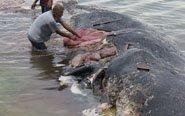 搁浅鲸鱼肚里满是垃圾