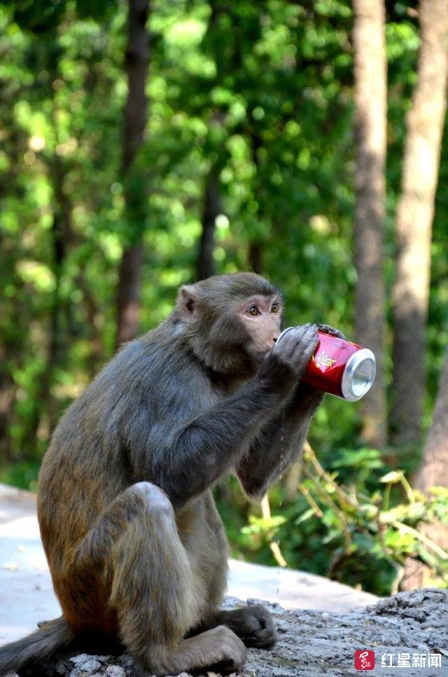搶手機偷窺咬人...潑猴進城作惡 林業局:保護動物