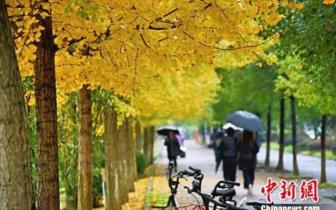 三峡大学校园银杏叶黄 初冬美景如诗如画