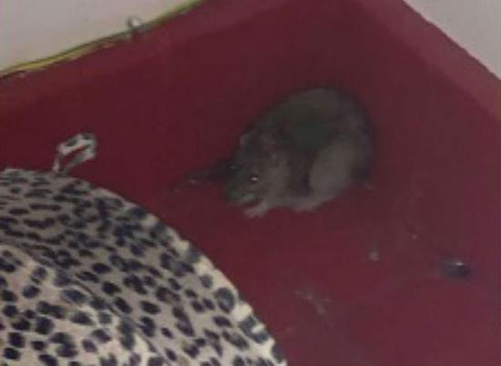 尴尬!英大学生错把硕鼠当窃贼报警