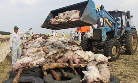 东欧地区的男女主要猪肉猪瘟供应链发现,其中,俄罗斯自2007年入侵猪瘟是由看鸡蛋图片