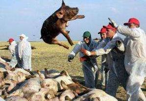 非洲猪瘟疫情再现 人会被感染吗?还能放心吃猪肉吗?