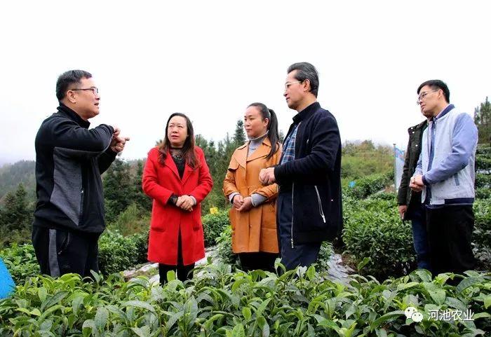河池农业局主要领导到南丹调研指导富硒茶叶产业