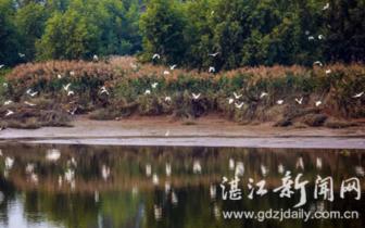 九洲江畔生态美 秋水过群鹭 影舞澄波中