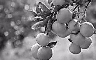 桔子采摘正当时 秋季去始兴体验一场桔子盛宴