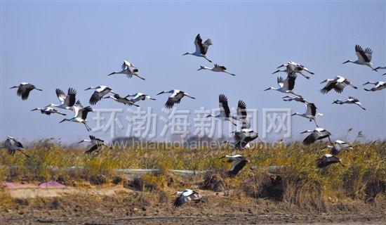 近3000只东方白鹳在曹妃甸湿地停歇补给