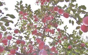 咱们家乡有特产——苹果迎来丰收季