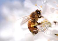 蜜蜂的世界你不懂:为啥能有两个爸爸但没有妈妈
