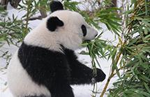 奥地利出生的大熊猫将返中国