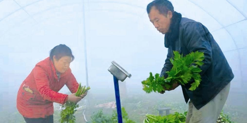 三门峡示范区阳店爱心助农 销售芹菜