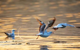 重庆梁平双桂湖的候鸟时光