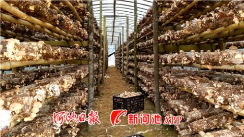 环江久乐村食用菌扶贫产业撑起群众致富伞