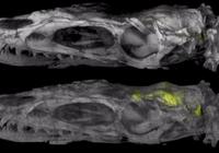 霸王龙祖先是捕猎高手,可能和它的S形大脑有关