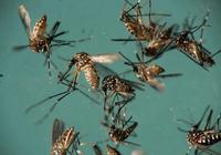 """谷歌母公司在实验室蚊子工厂里推进""""蚊子灭绝计"""