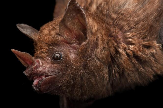 除了带皮毛油炸,玻利维亚人还流行喝蝙蝠血治癫痫