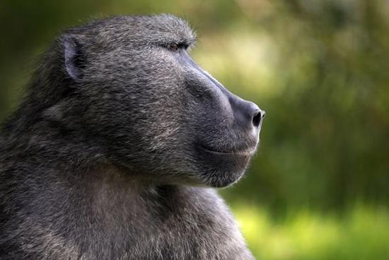 png狒狒刚素材