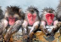 日本猴子又在泡温泉啦