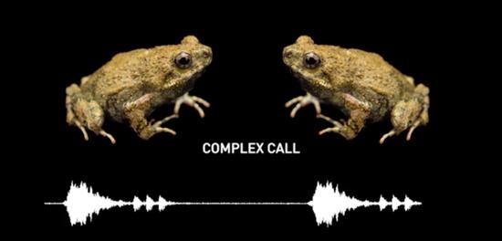 城市里的青蛙更性感:是进化所致,还是为了求偶?