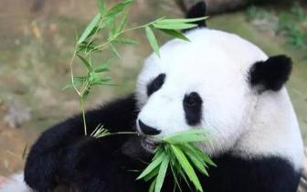 历史上第一次!有国家想把大熊猫提前送回中国: