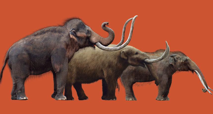 史前大象灭绝于生存资源之争?傻得就像牛那样好捕杀