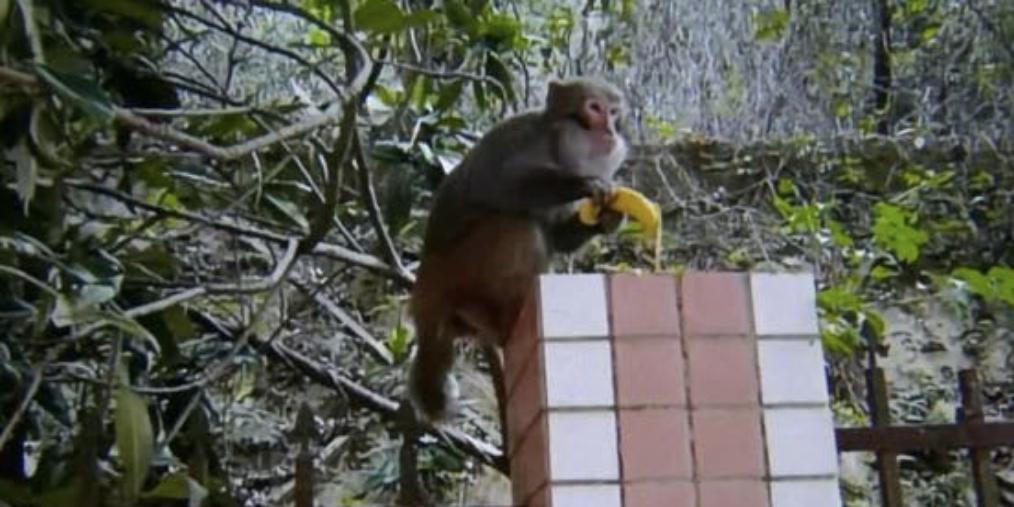 猴子|深圳天冷猴子进小区觅食 被喂得肚子溜圆