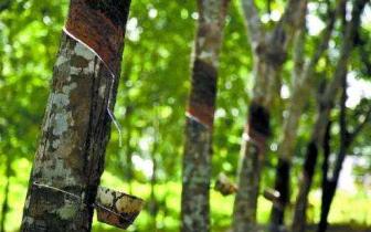 琼中县2846户天然橡胶种植农户获理赔款346万元