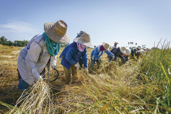 五常可以种植出产的水稻品种很多,包括长粒香、938、龙稻系列、龙阳系列等等。但至少已有10年左右时间,大部分粮农基本都选择了种植五优稻4号(即稻花香2号的正式名称)。因为这一品种所产出的成米质量最高,成为了五常大米的代表性产品,也就是目前公众熟知的稻花香大米,目前其种子售价每斤5元左右。 视觉中国图