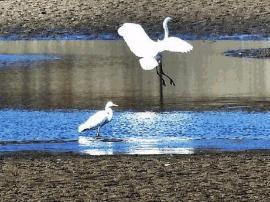 汾河景区河床零星积水 数十只白鹭聚集嬉戏