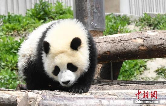 成都多只大熊猫遭遇黑眼圈变白 医学专家正会诊