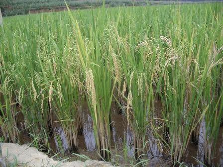 再生稻为粮食安全添保障 湖北一年增产稻谷12亿斤