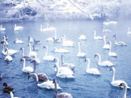 伊宁县天鹅湖迎来野生天鹅过冬