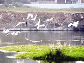灵宝市金水湖北侧湿地迎来60多只白鹭