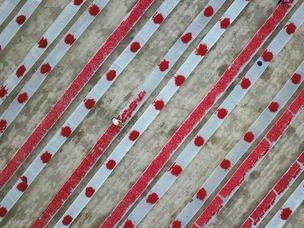 新疆焉耆30万亩番茄采摘晾晒工作进入旺季