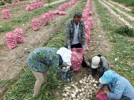 焉耆县:洋葱迎丰收 农民笑开颜