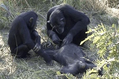 人类首次观察到黑猩猩为死去的伙伴清理尸体