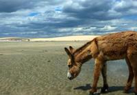 """美媒:巴西农村""""驴满为患"""" 拟向中国出口驴制"""