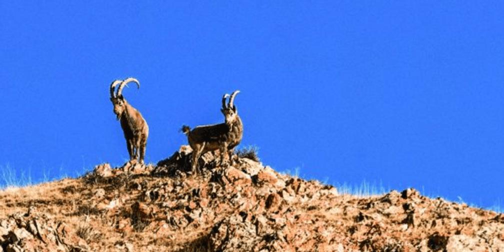 成群北山羊现身远冬牧场