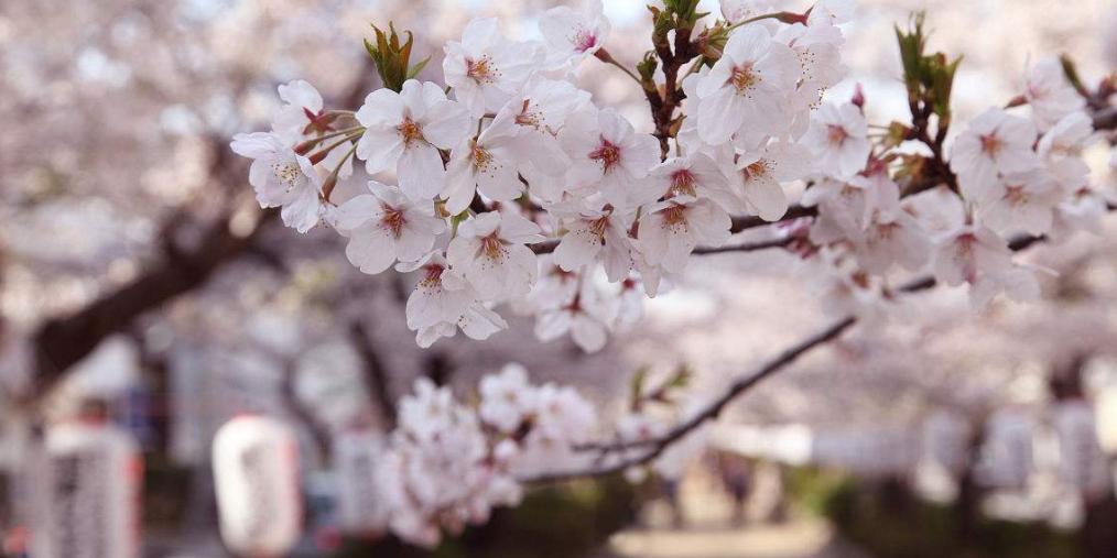 别去日本啦!蓝色星球最美最大的樱花园竟在贵州