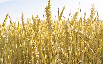 今年小麦和稻谷最低收购价执行预案公布