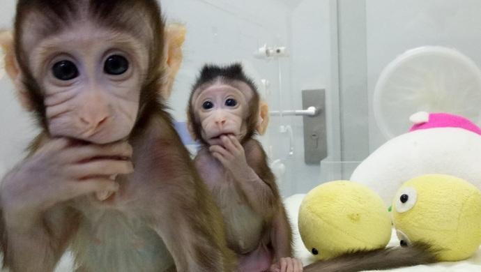 克隆猴出世,克隆人时代即将来临?