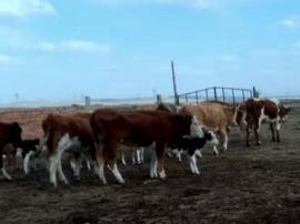 """锡林郭勒:算一笔""""减羊增牛""""的生态账"""