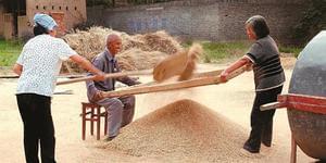 山西晋南冬小麦收割的辛勤与汗水